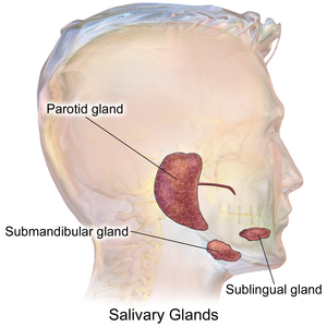 Salivary glands - Libre Pathology